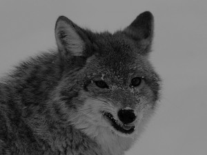 """Northern Coyote 7255"", Jean-Guy Dallaire, Creative Commons License"